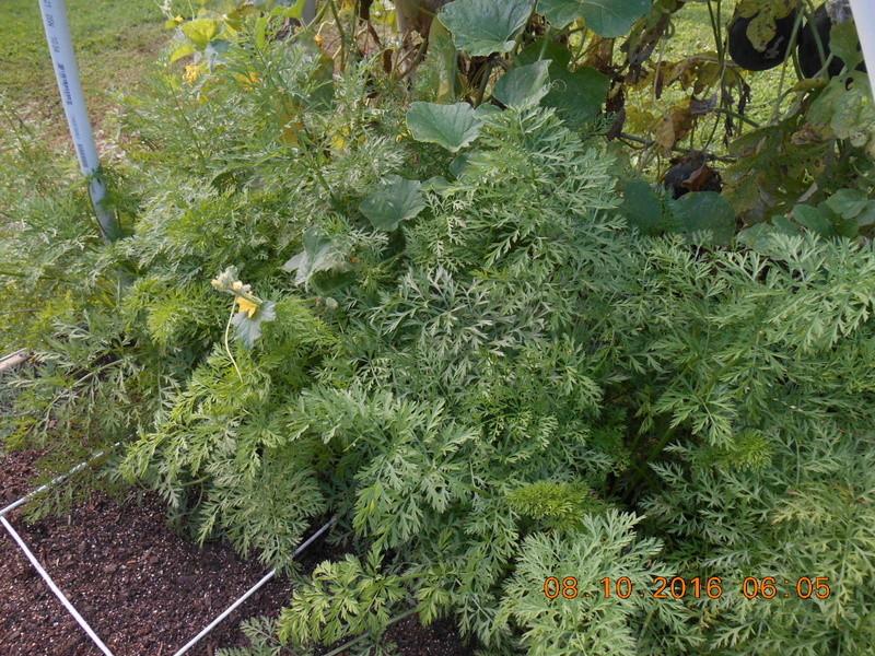 Spring/summer garden pics Carrot15