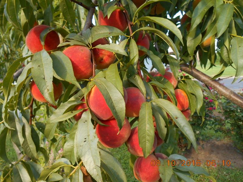 Spring/summer garden pics Peach_12