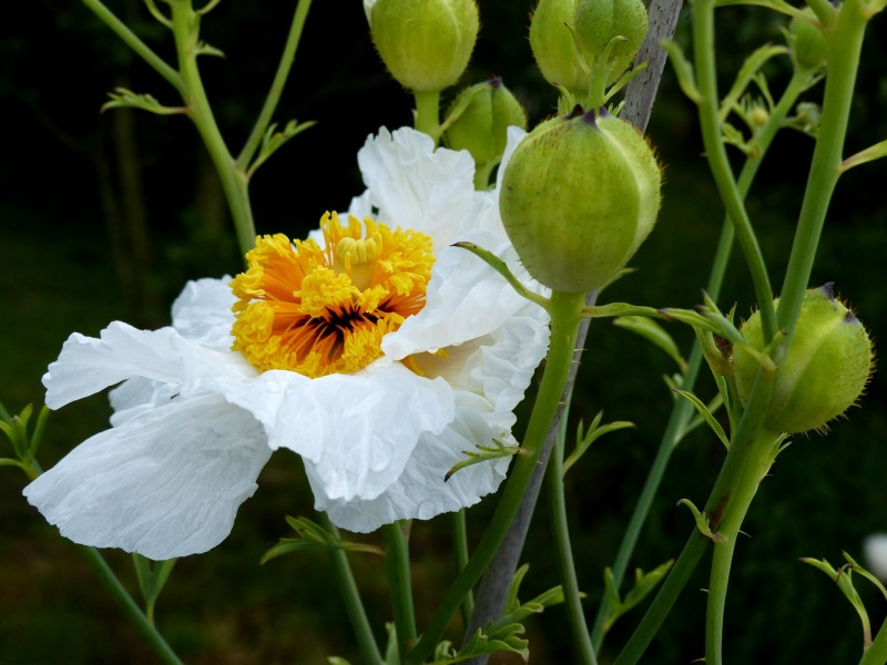 Romneya coulteri - Page 2 P1120410