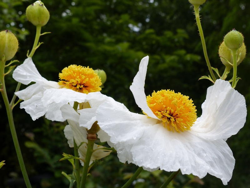 Romneya coulteri - Page 2 P1120511