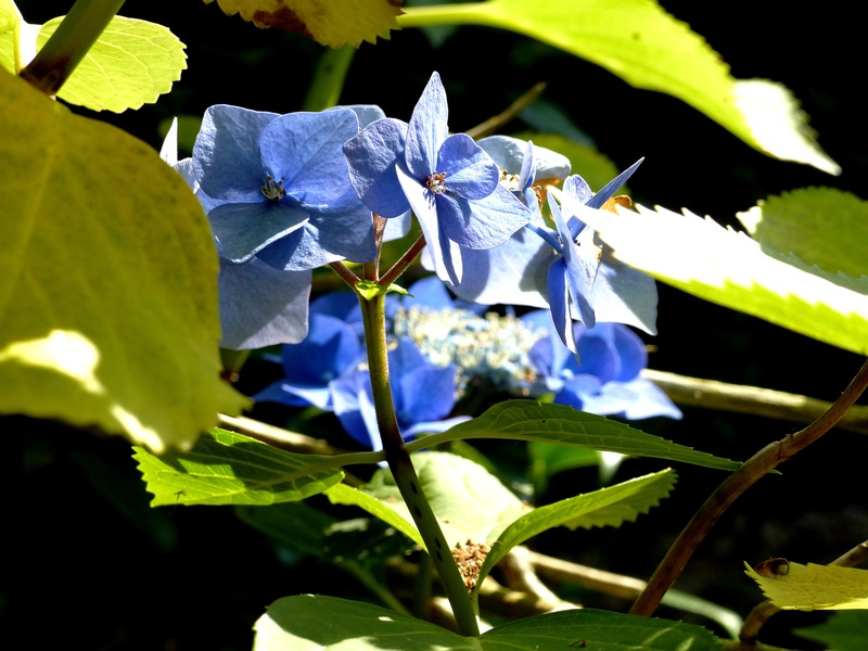 Hydrangea - hortensia - conseils de culture P1120713