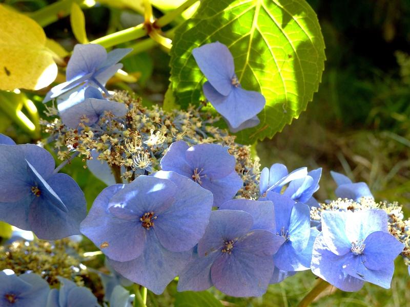 Hydrangea - hortensia - conseils de culture P1120714