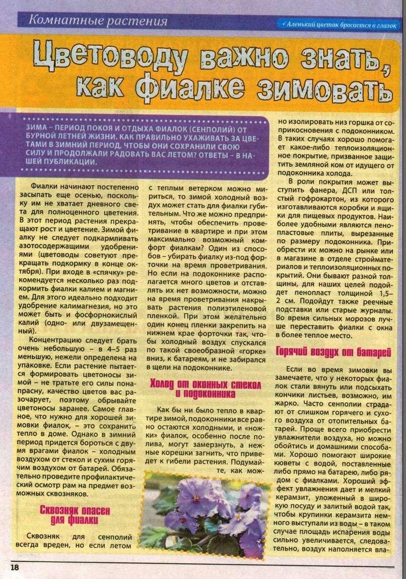 узамбарская фиалка или сенполия 110