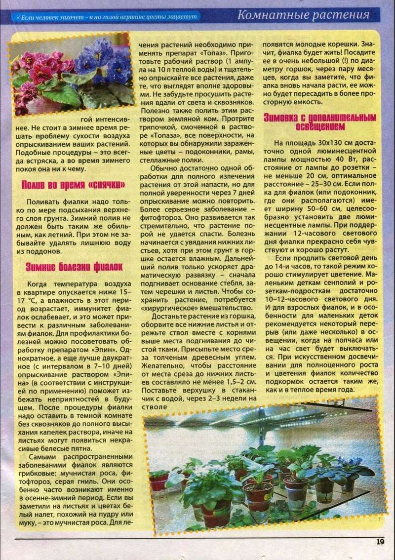 узамбарская фиалка или сенполия 210