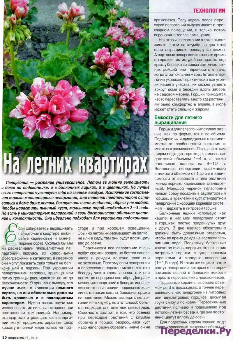 Пеларгония (Герань) 27513610