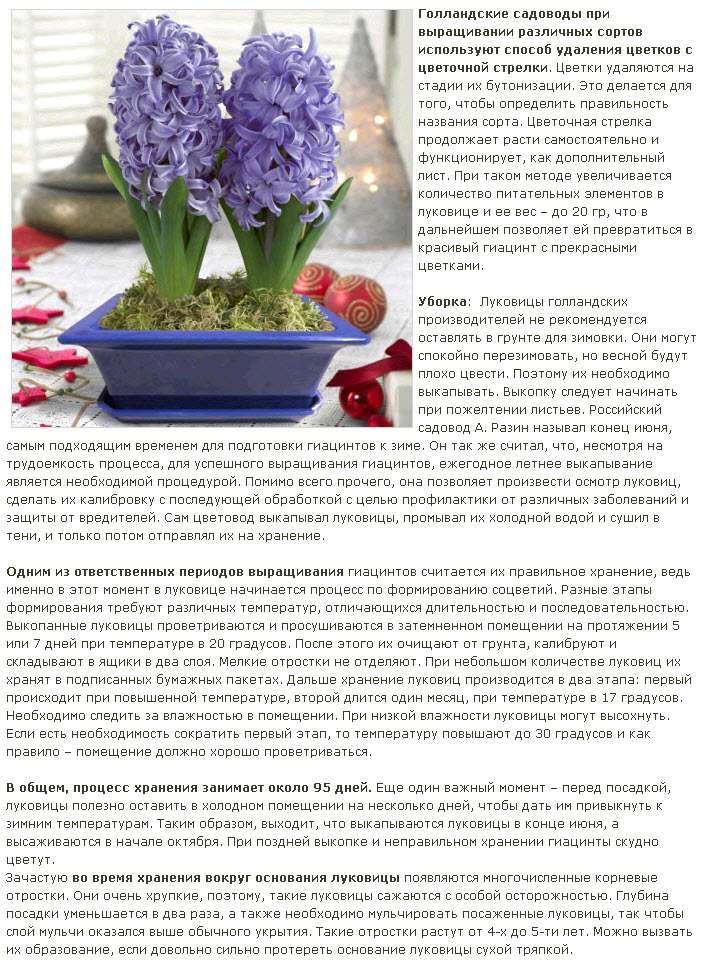 Выгонка луковичных растений Giatsi10
