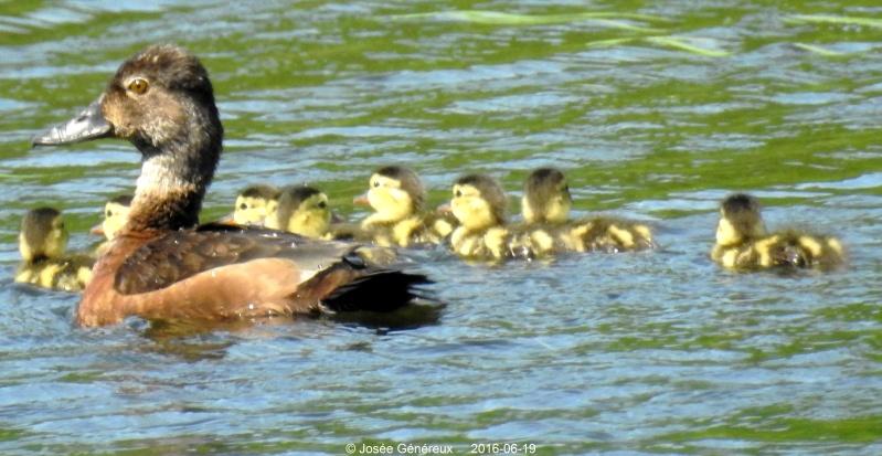 Canard avec ses kids ,  Dscn0010