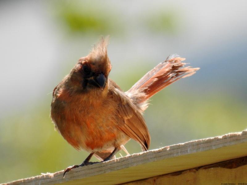 Jeune cardinal qui a passé la journée près de nous Dscn9610