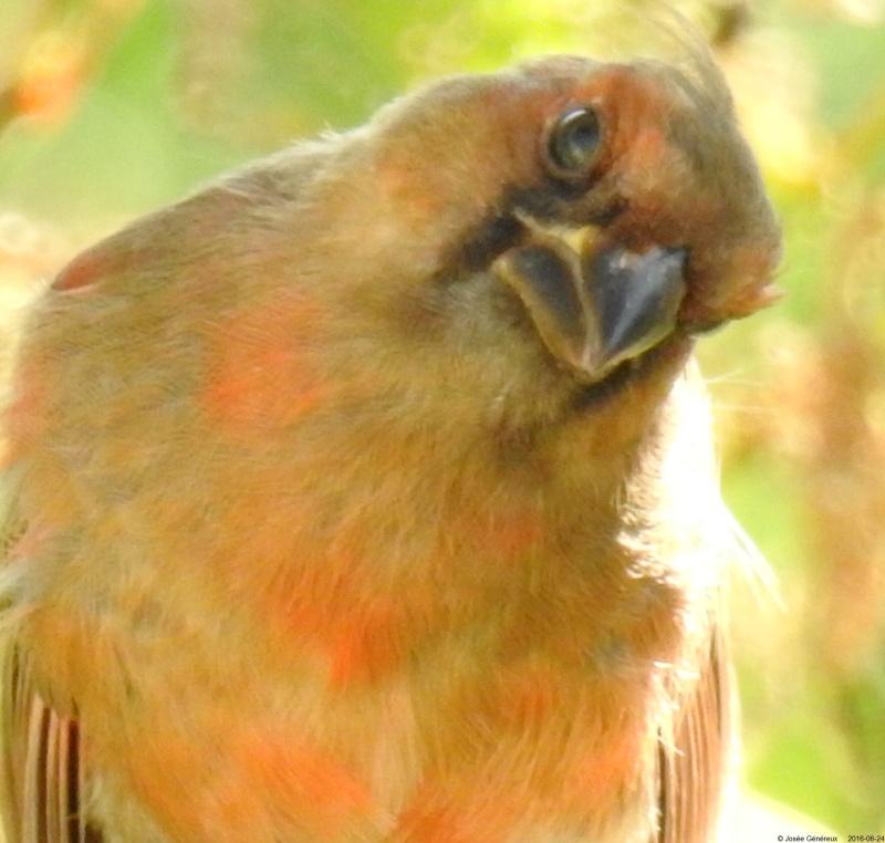 Jeune cardinal qui a passé la journée près de nous Dscn9710