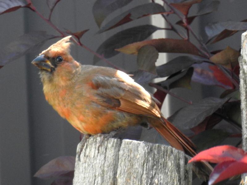 Jeune cardinal qui a passé la journée près de nous Dscn9711