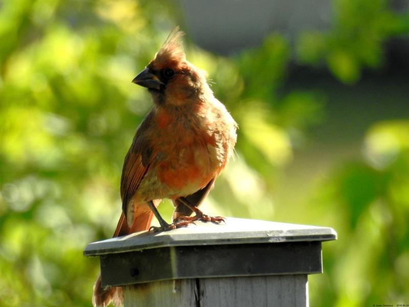 Jeune cardinal qui a passé la journée près de nous Dscn9712