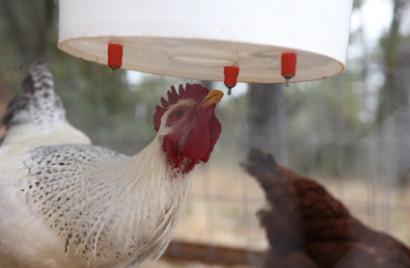 Abreuvoirs pour poules 10-bes10