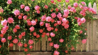 Чайная роза 1610