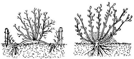 Размножение декоративных кустарников 213