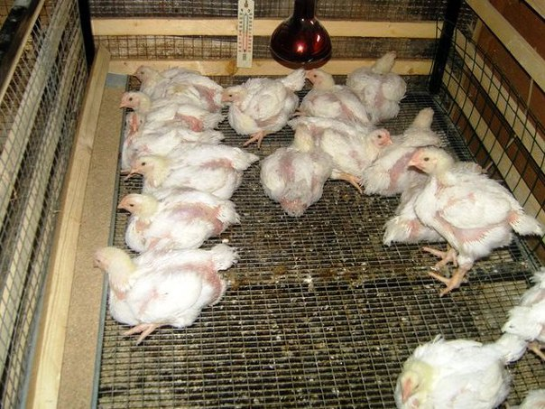 Как в домашних условиях вырастить бройлерного цыплёнка? 310