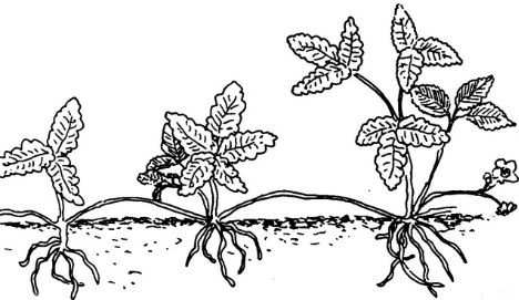 Размножение декоративных кустарников 313