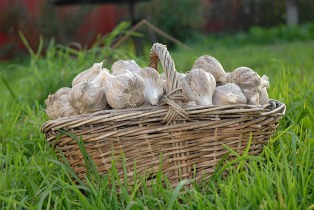 Выращивание чеснока Chesno10