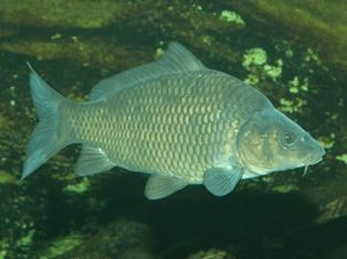 Роль кислорода в жизнедеятельности рыб Kartin10