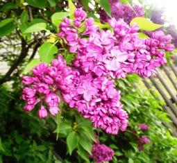Сирень садовая Sam_8610