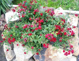 Бордюрная роза Sam_9211