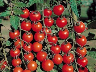 Выращиваем помидоры черри. 5 отличий в уходе Ywk5p010