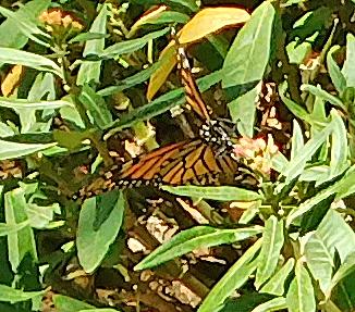 Monarch Butterflies 2016-f10