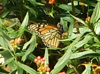 Monarch Butterflies 2016-f11