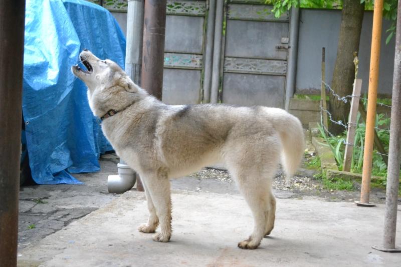 Husky size Img_0710