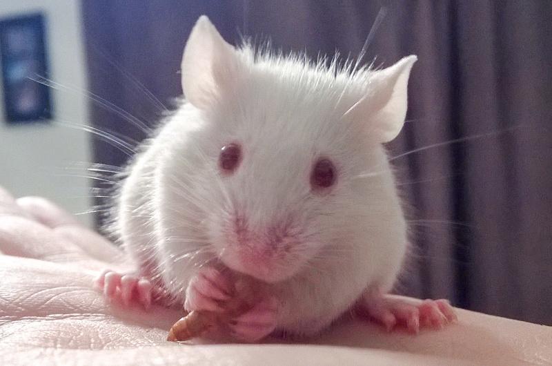How should albino mice eyes look? Adobep28