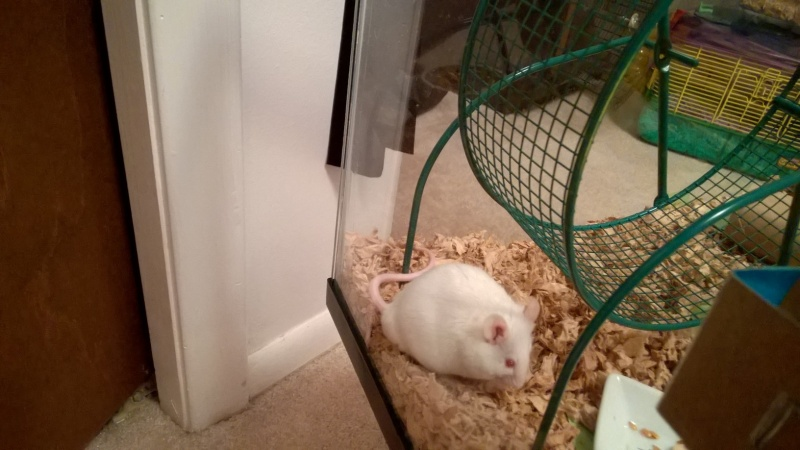 My little foster mouse (who I'll probably keep) Wp_20102