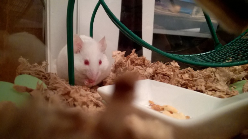 My little foster mouse (who I'll probably keep) Wp_20198