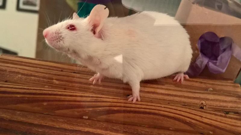 How should albino mice eyes look? Wp_20230
