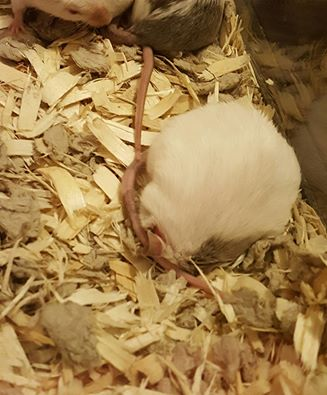 Mice sleep in some odd positions. 13237610