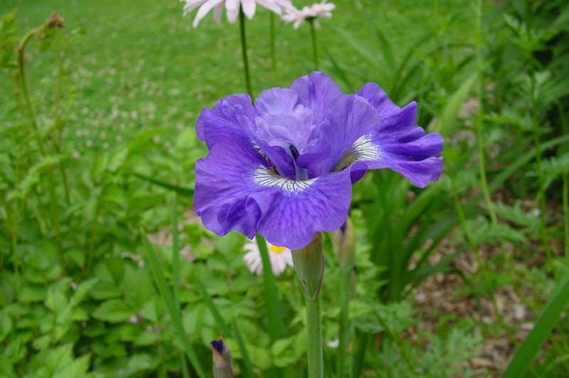 GUIDE D'IDENTIFICATION : les IRIS  Bluebe10