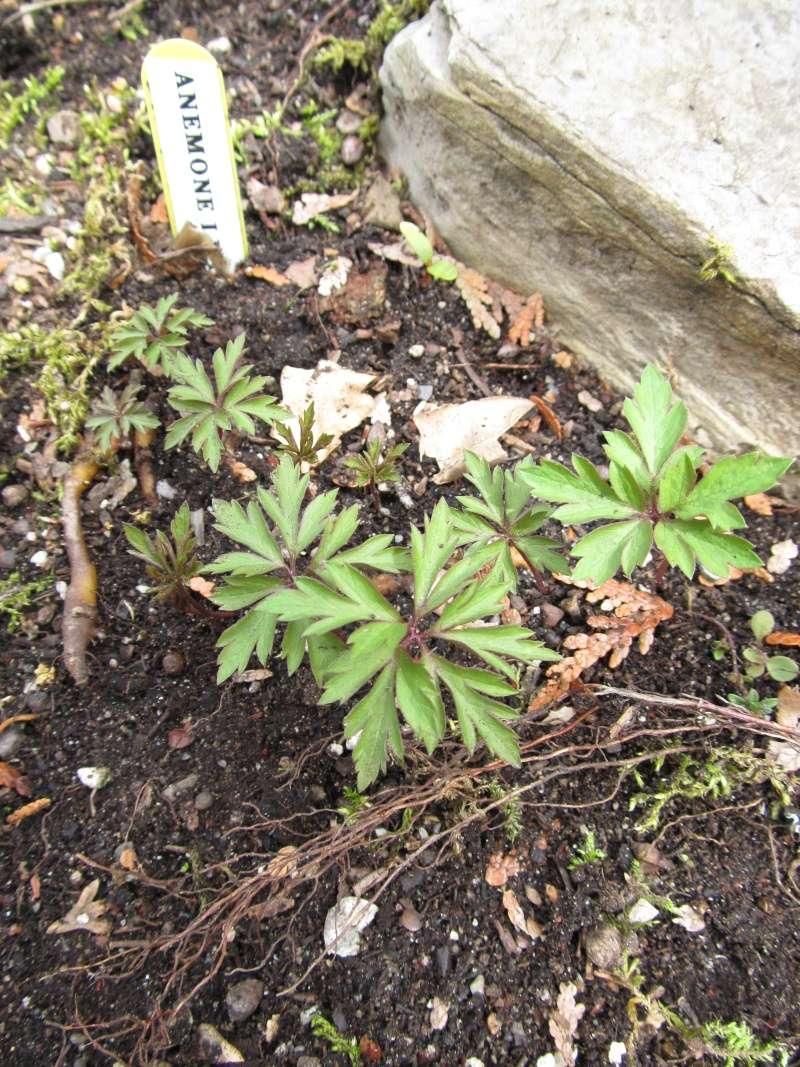 Guide d'identification: jeunes pousses, feuillages et fleurs - Page 8 Anemon10