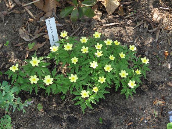 Guide d'identification: jeunes pousses, feuillages et fleurs - Page 8 Anemon12