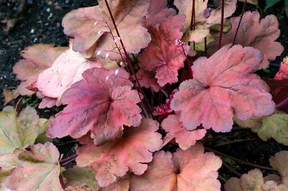 Guide d'identification: Heuchères, tiarelles & heucherellas Autumn12