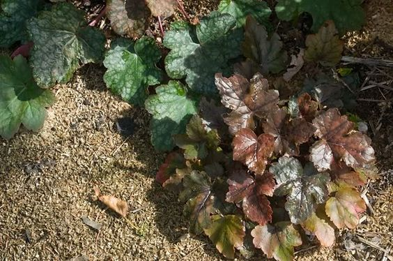 Guide d'identification: Heuchères, tiarelles & heucherellas Burnis10