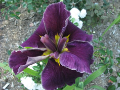 GUIDE D'IDENTIFICATION : les IRIS  Fondly10