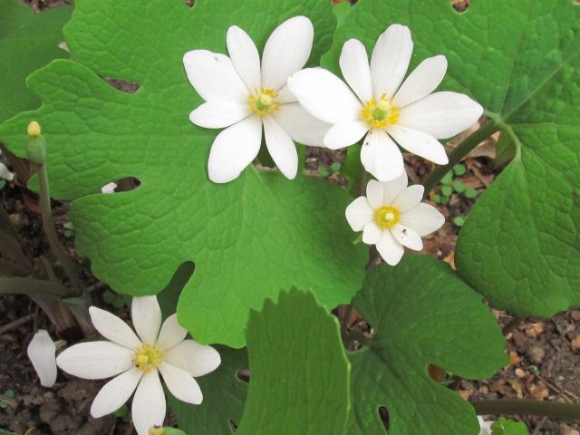 Guide d'identification: jeunes pousses, feuillages et fleurs - Page 7 Img_6310