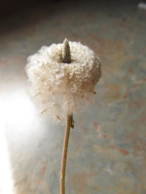 Récolte des semences, plante par plante - Page 4 Img_8416