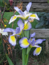 GUIDE D'IDENTIFICATION : les IRIS  Missou10
