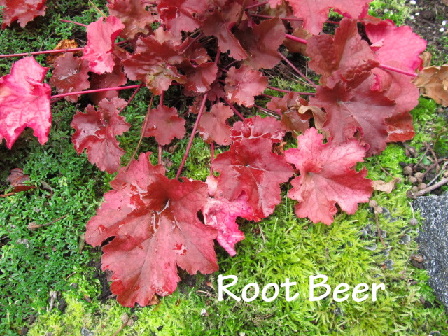 Guide d'identification: Heuchères, tiarelles & heucherellas Root_b11