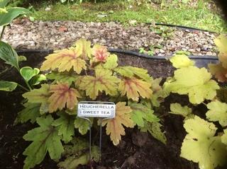 Guide d'identification: Heuchères, tiarelles & heucherellas Sweet_12