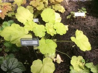 Guide d'identification: Heuchères, tiarelles & heucherellas Tirami10