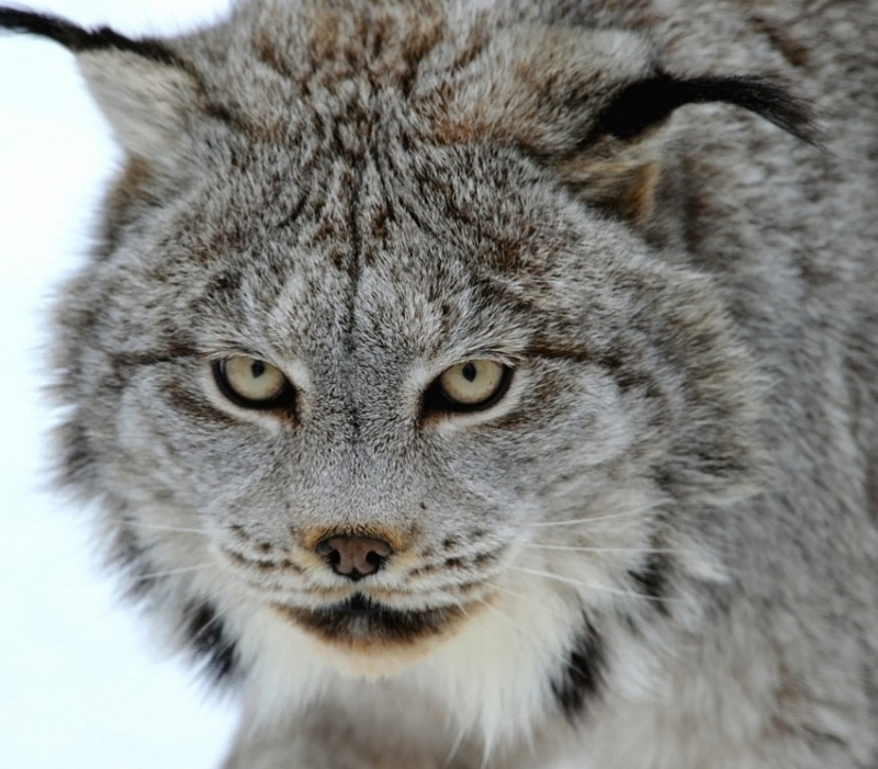 Quel est votre animal totem ? A quoi vous identifiez vous ? Lynx-d12