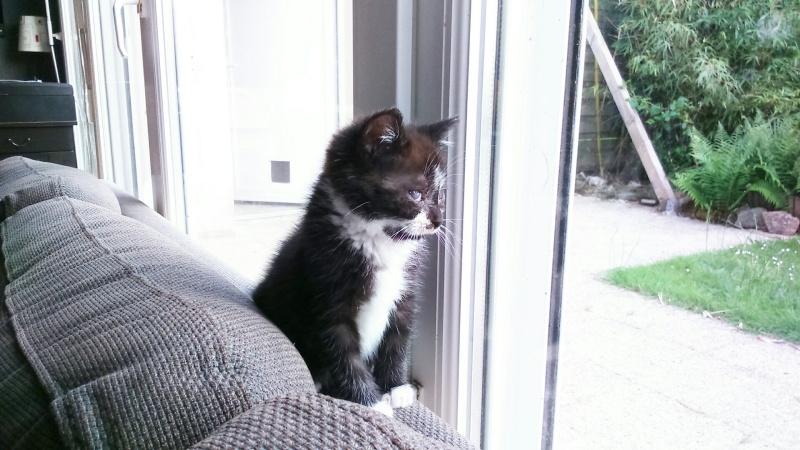 mister - Mister,  chaton mâle, noir et blanc, type européen né en avril 2016 Dsc_0410
