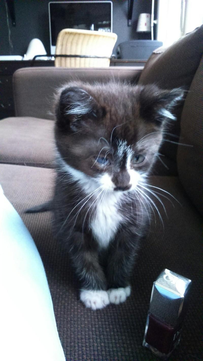 mister - Mister,  chaton mâle, noir et blanc, type européen né en avril 2016 Dsc_0412