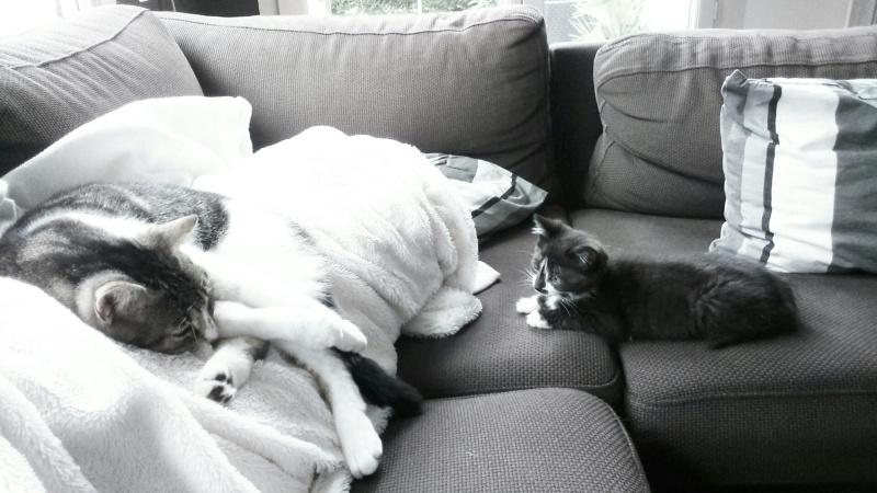 mister - Mister,  chaton mâle, noir et blanc, type européen né en avril 2016 Dsc_0514