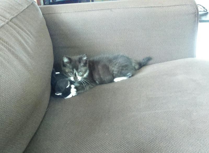 mister - Mister,  chaton mâle, noir et blanc, type européen né en avril 2016 Dsc_0515
